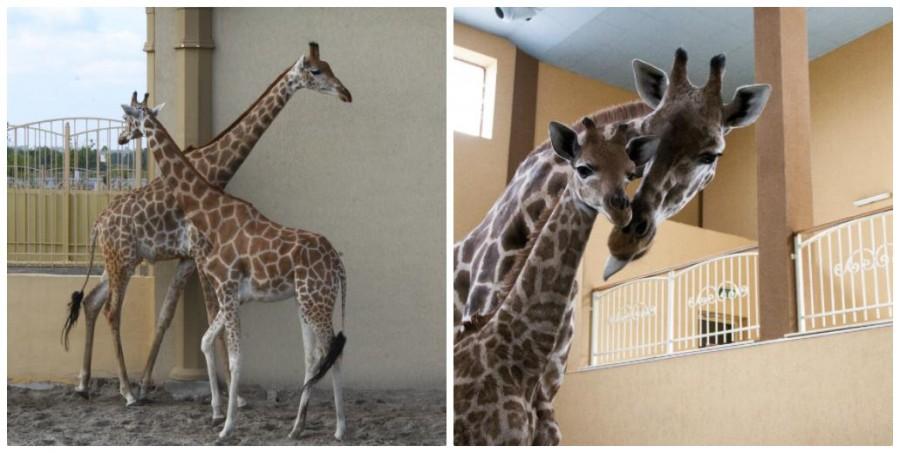 Народження жирафеня в Зоопарку 12 Місяців